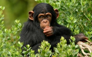 5 Days Chimpanzee Sanctuary and Gorilla Safari
