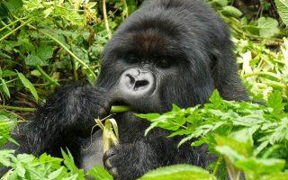 5 Days Gorilla & Golden Monkey Trekking Safari