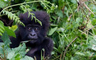 5 Days Gorilla Trekking and Chimpanzee Safari