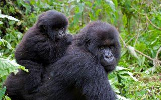 6 Days Gorilla Trekking and Chimpanzee Safari