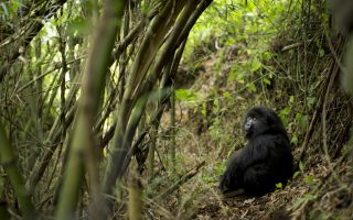 7 Days Gorilla