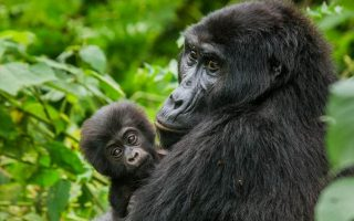 2 Days Bwindi Gorilla Safari from Kigali
