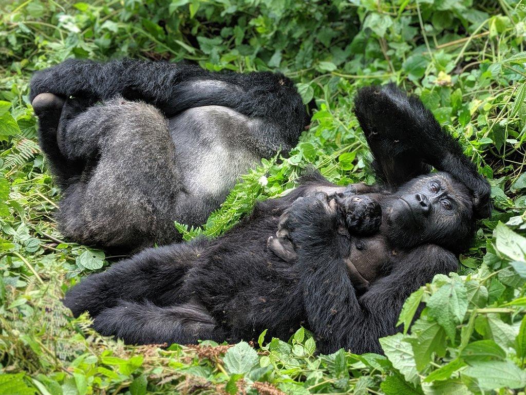 Kahuzi-Biega National Park lowland Gorillas